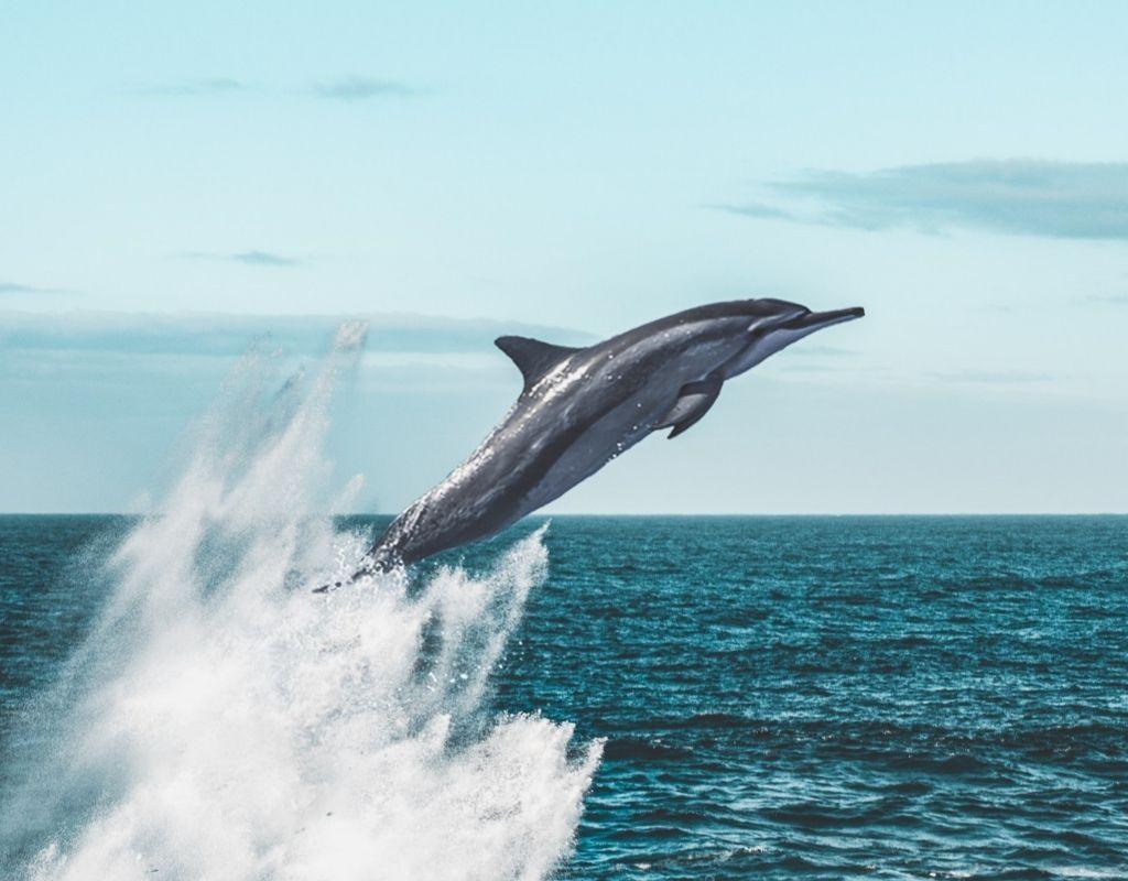 dolphin jekyll island