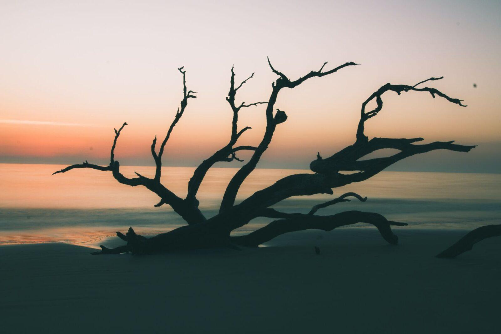 jekyll island silhouette of tree on beach